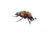 The carrion beetle Nicrophorus vespilloides on white background
