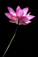 lotus flower isolated on black background