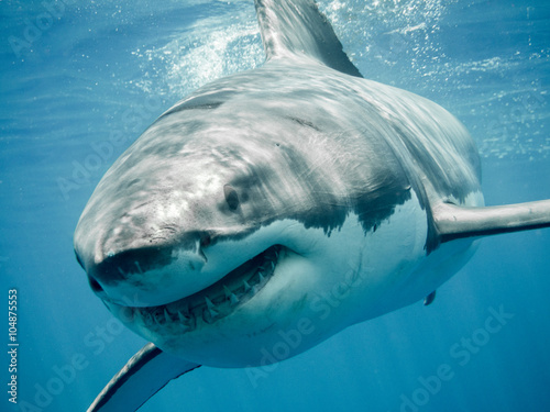 obraz PCV Great white shark close up smiling and swimming front in the blue Pacific Ocean at Guadalupe Island in Mexico