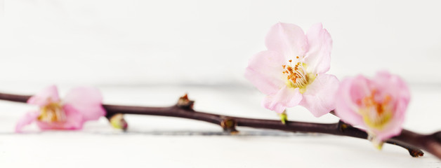 körsbärsblom mot vit träbakgrund