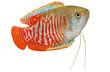 Dwarf gourami Trichogaster lalius tropical aquarium fish