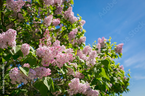 Foto op Canvas Lilac Bunch of violet lilac flower in sunny spring day in front of blu