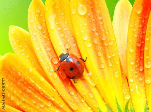 obraz lub plakat Ladybug and flower