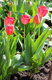 red tulips in the garden