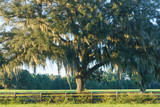 Live Oak tree with Spanish moss in pasture field meadow behind four board country farm ranch overgrown wood fence looking serene peaceful relaxing beautiful southern tranquil - 105012543