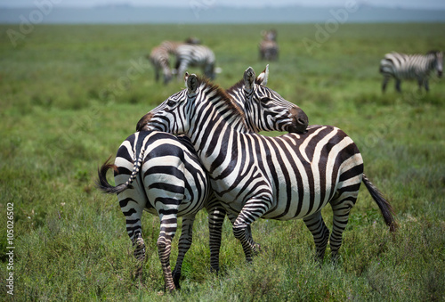 Zebras on african savannah Poster