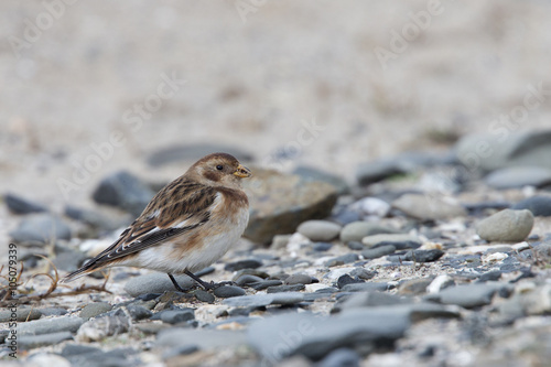 Poster Snow Bunting, female in the sand dunes eating seeds at St Gothian LNR, Gwithian, Cornwall, England, UK