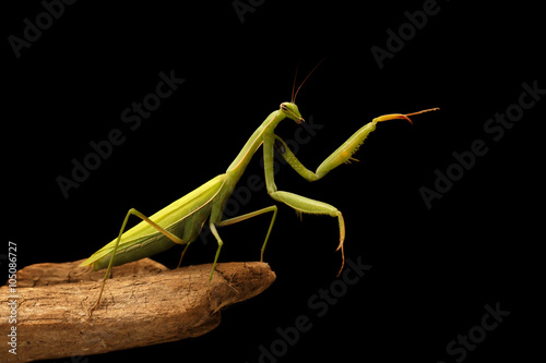 closeup mantis on the branch on black background Poster
