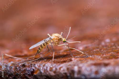 Mosquito on Brown Background - 105116957
