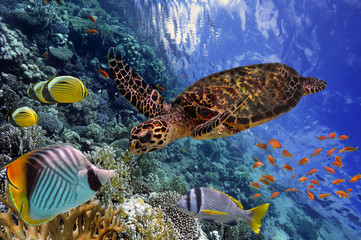 colorful coral reef with many fishes and sea turtle