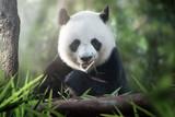 panda is eating