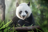 Fototapety panda is eating