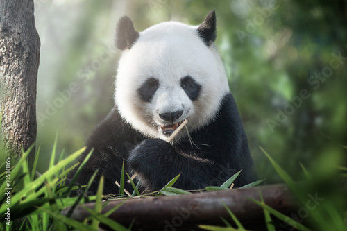 panda is eating Poster