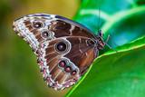Blue Morphus butterfly - 105181987
