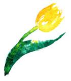 Yellow tulip - 105198727