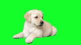 labrador puppy on the green screen