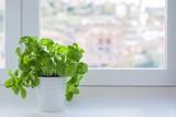 piante di basilico davanti alla finestra; spazio vuoto laterale