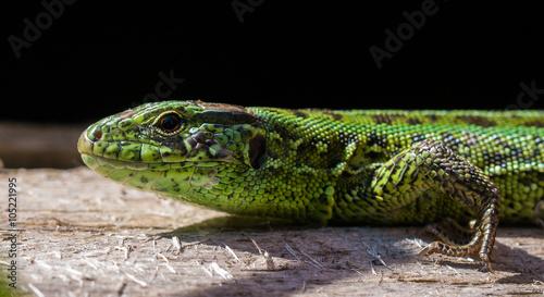 fototapeta na ścianę Lizard
