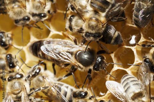 Zdjęcia na płótnie, fototapety, obrazy : Bienenkönigin und Ammenbienen