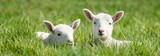 Zwei Lämmer liegen im langen Gras, Banner - 105239195