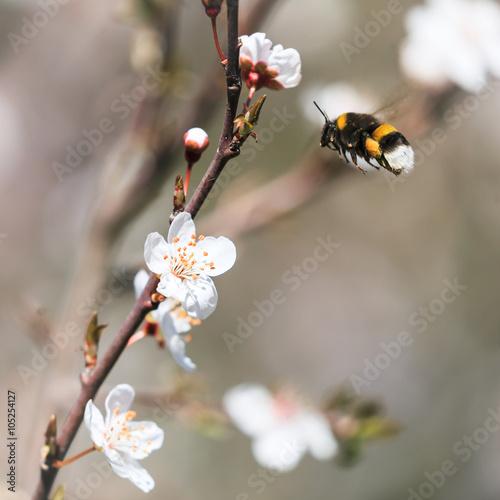 Poster Bourdon allant butiner une fleur à l'arrivée du printemps