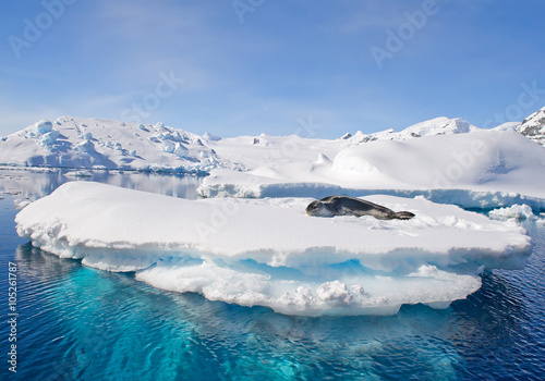 Fotobehang Antarctica Leopard seal resting on ice floe, looking at the photographer, blue sky, with icebergs in background, cloudy day, Antarctic peninsula