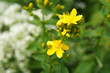 yellow flower of St. John's wort or Hypericum