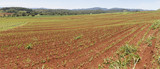Panoramic view of recently planted sugar cane in the deep red soil of the Atherton Tableland, Far North Queensland. Ploughed lines following the natural contours of the land.