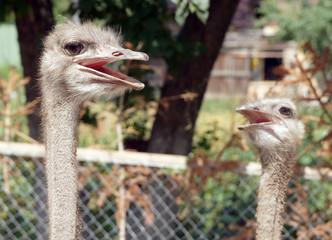 Head of ostrich close up