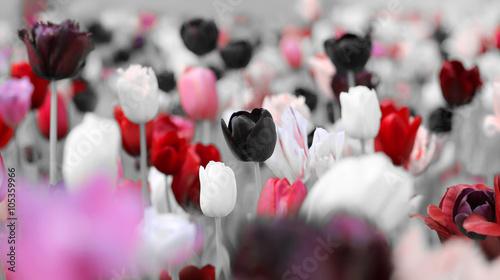 Zdjęcia na płótnie, fototapety na wymiar, obrazy na ścianę : tinted tulips trauer