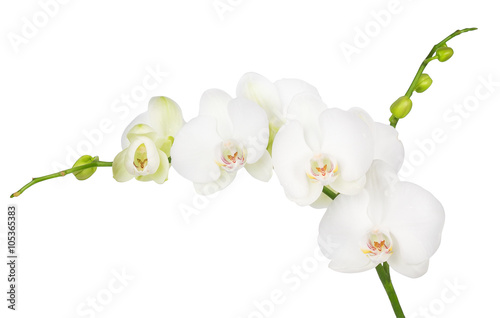 white orchid isolated on white background - 105365383