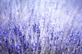 Beautiful blurred flowering lavender plants closeup background. Violet blue color filter and selective focus used.