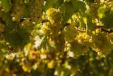 ripe Sauvignon blanc grapes