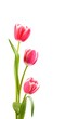 Tulips  on the white background. - 105418738