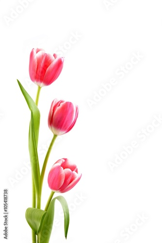 Tulips  on the white background. Poster