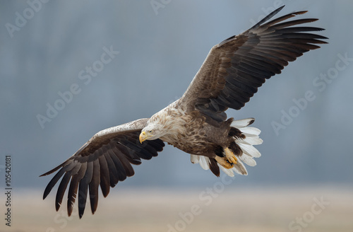 White tailed eagle  - 105420181