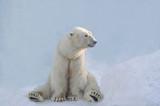 Белый медведь сидит.