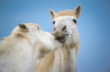 Tenderness between 2 white horse
