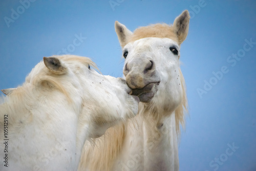 Fototapeta Tenderness between 2 white horse