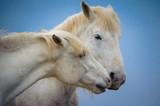 Tenderness between 2 white horse