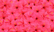 Tropical hibiscus flowers pattern