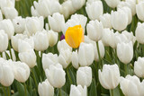 Beautiful yellow tulip over a white tulips in the garden