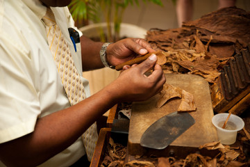 Hand making cigars from tobacco leaves, traditional product of C