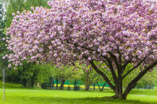 Panel Szklany Beautiful sakura tree in the park