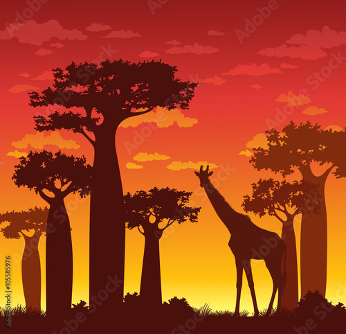Papiers peints Marron Silhouette of giraffe and baobabs. African landscape.