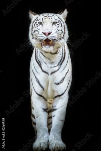Foto op Plexiglas Panter White Tiger