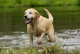 Yellow Labrador Retriever fetching in water