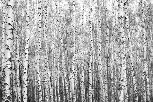 brzozowy-las-czarno-biale-zdjecie