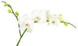 orchid isolated on white background with clip path