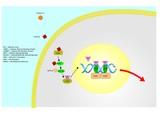 metabolism of vitamin A (retinoic acid)